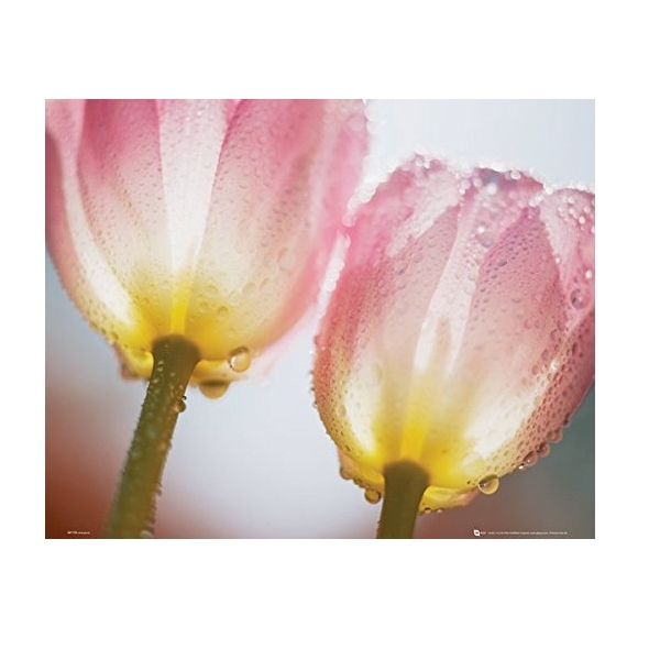 Tulips Dew Mini Poster