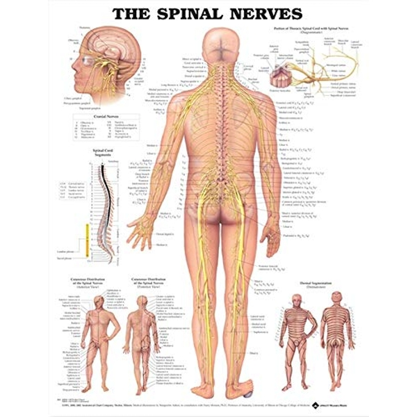 The Spinal Nerves Anatomical Chart  2001 Wallchart