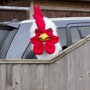 Thumbs Up! Rooster Mask