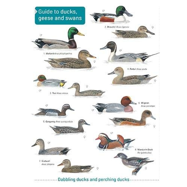 Ducks, Geese and Swans  Paperback / softback 2019