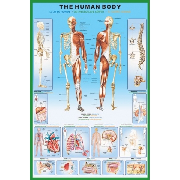 The Human Body Maxi Poster